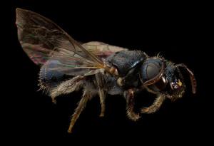 Carpenter Bee Ceratina calcarata