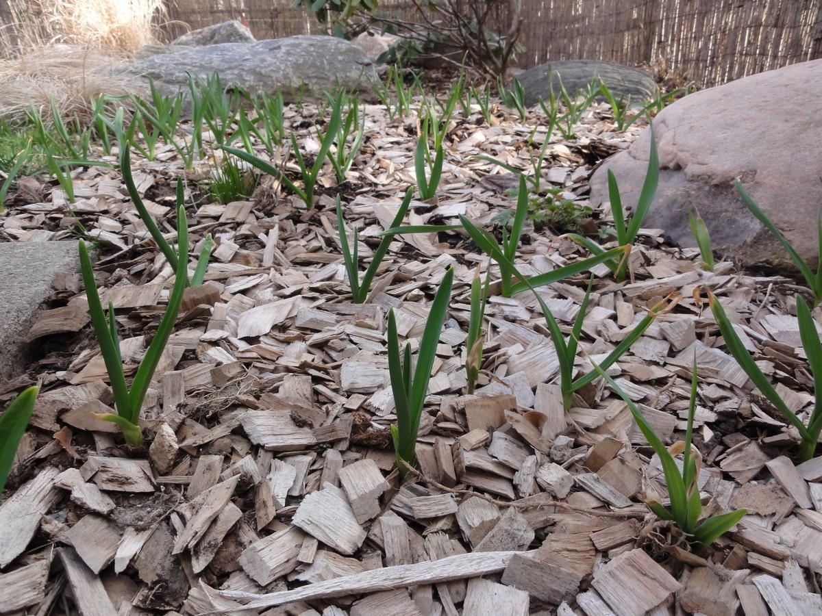 GarlicPlantingYUF