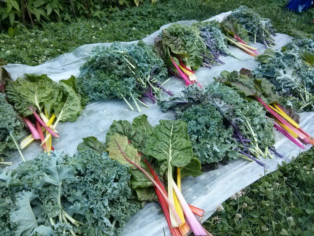 swiss chard and kale