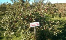 nova mac apple tree