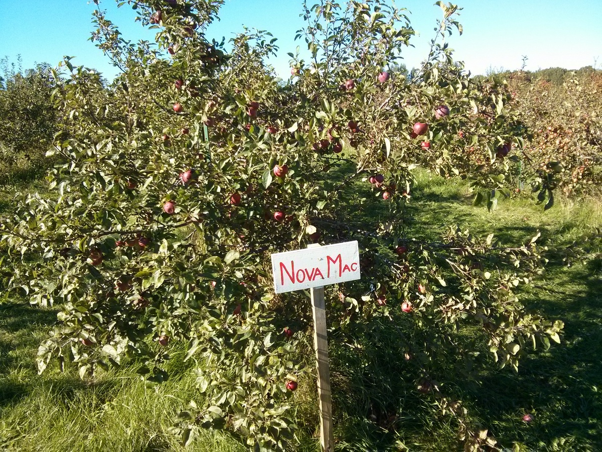 nova mac apple tree