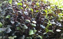 microgreen sprouts