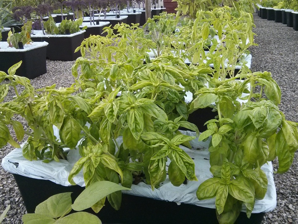 basil earthbox