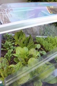 greens inside cold frame