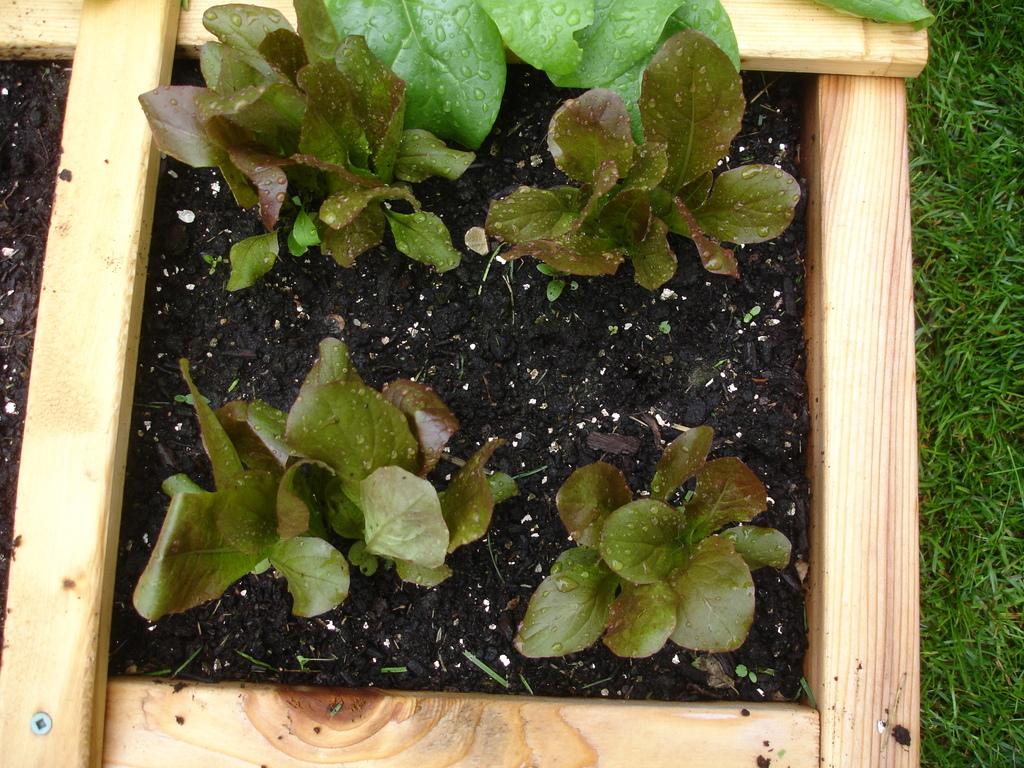 square foot gardening lettuce