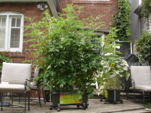 Green EarthBox with tomatoes