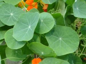 nasturtium leaf