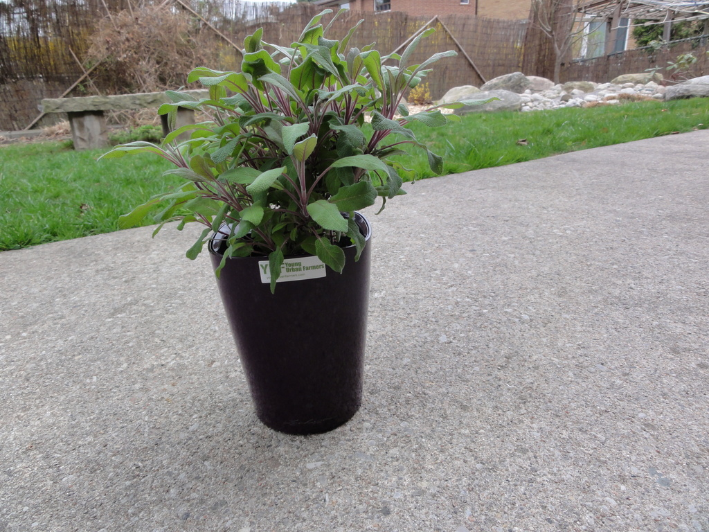 purple sage planter