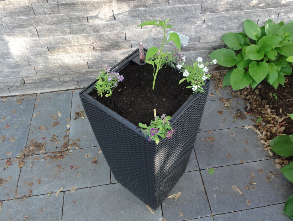 chili pepper alyssum container