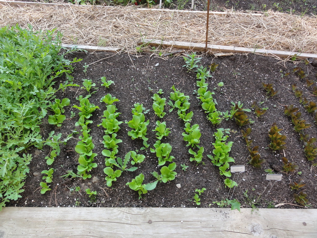 succession planting