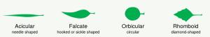 Leaf_morphology shape