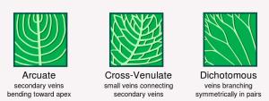 Leaf_morphology venation