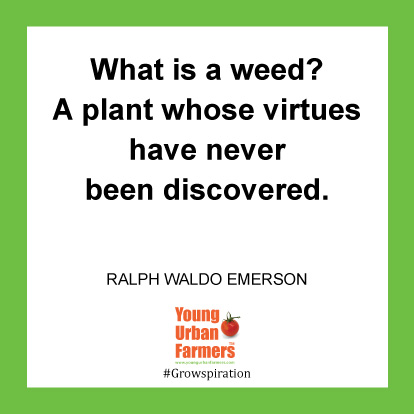What is a weed? A plant whose virtues have never been discovered. -Ralph Waldo Emerson