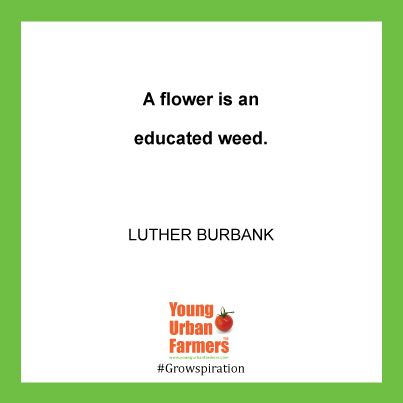 A flower is an educated weed. - Luther Burbank, 1849–1926