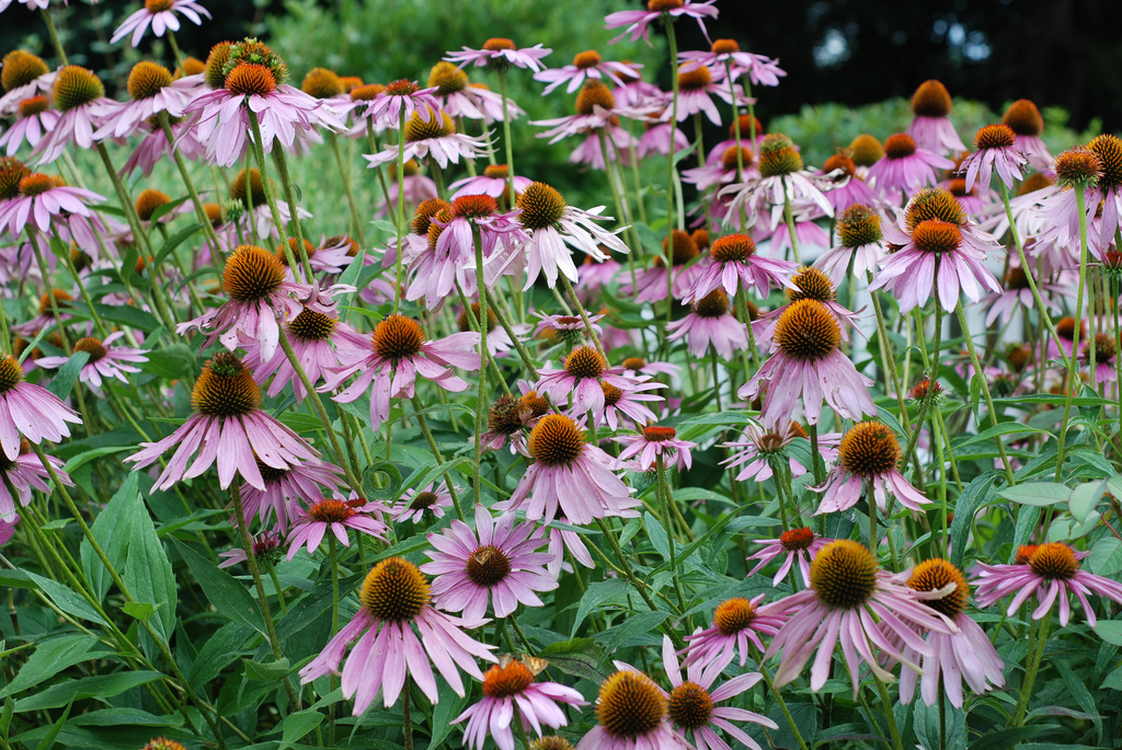 coneflower flickr