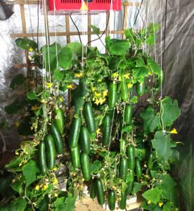 cucumber led