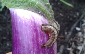 cutworm flickr