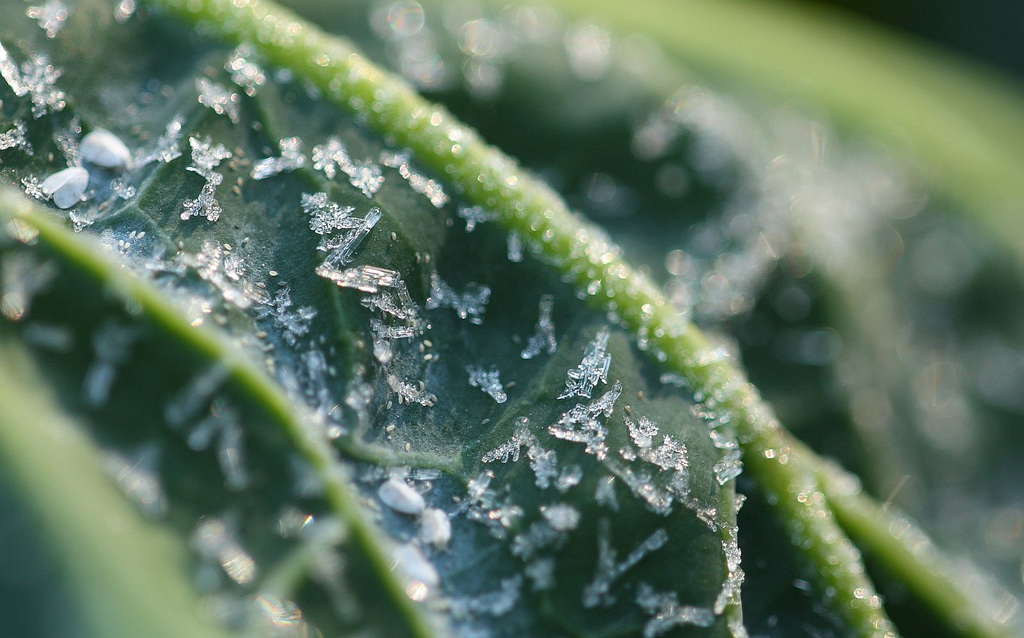 frost on collards