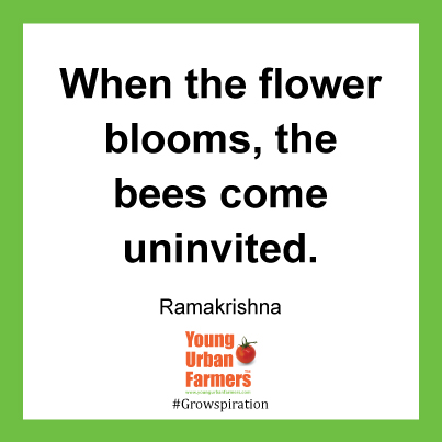 When the flower blooms, the bees come uninvited. Ramakrishna