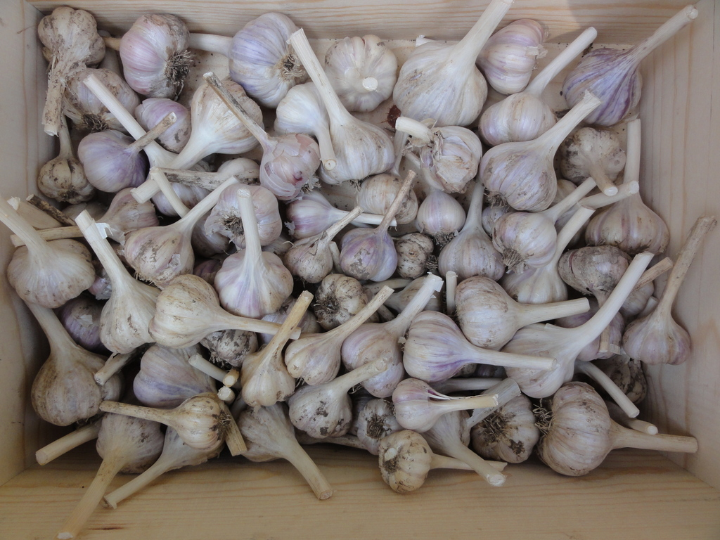 garlic bulbs 2014