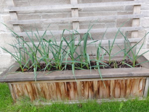 garlic raised bed