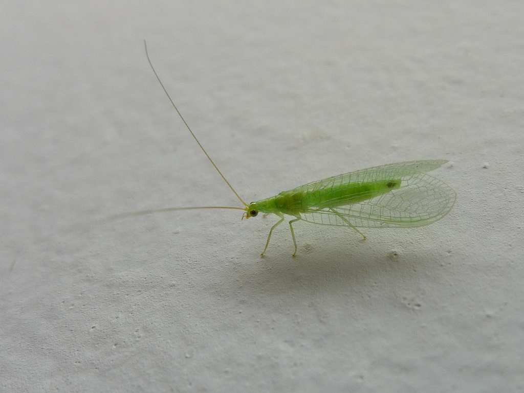 lacewing flickr